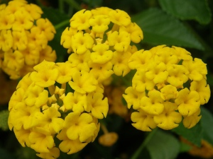 yellowlantana
